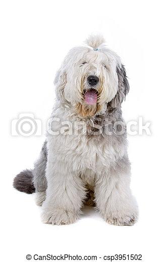Old english sheepdog (bobtail) - csp3951502