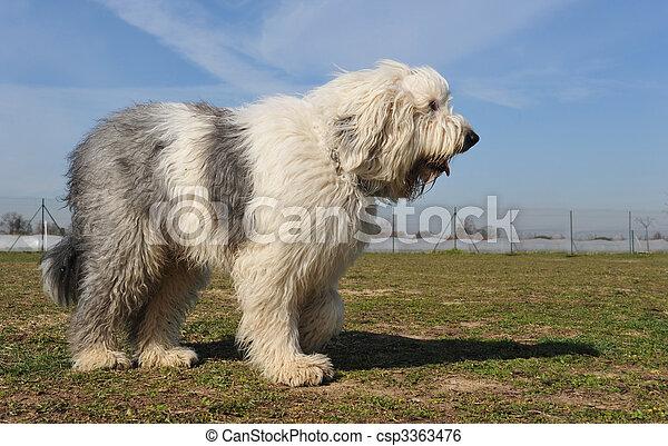 Old English Sheepdog - csp3363476