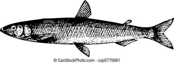 Old engraving of a European smelt fish or osmerus eperlanus - csp5775661