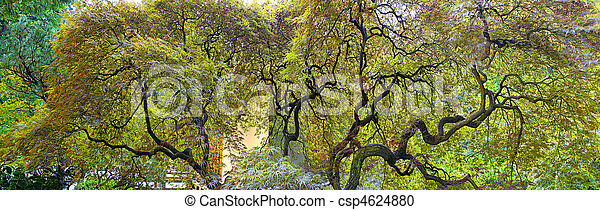 Old Japanese Laceleaf Maple Tree - csp4624880