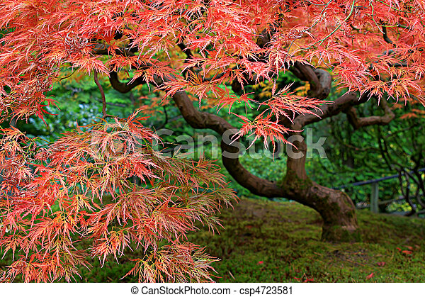 Old Japanese Red Lace Leaf Maple Tree 2 - csp4723581