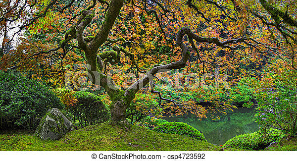Old Japanese Red Lace Leaf Maple Tree Panorama 2 - csp4723592