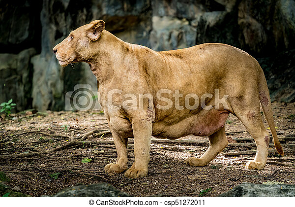 old lioness on the ground old female lion lioness on the ground