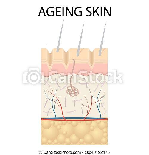 Old Skin Anatomy Old Skin Anatomy Characterized By Presence