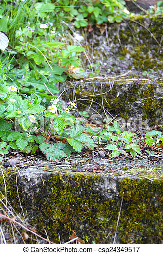 Old stone stairs with ivy - csp24349517