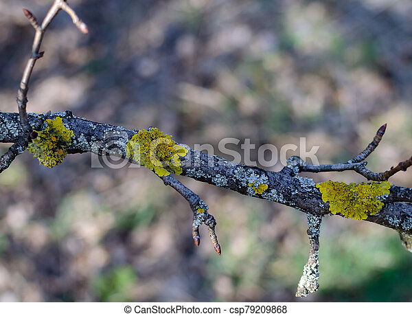 old tree covered with orange moss in the forest on a sunny day - csp79209868