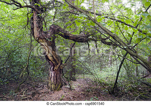 Old tree in forest - csp6901540