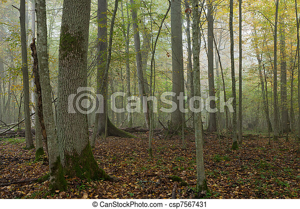 Old trees in natural stand of Bialowieza Forest - csp7567431