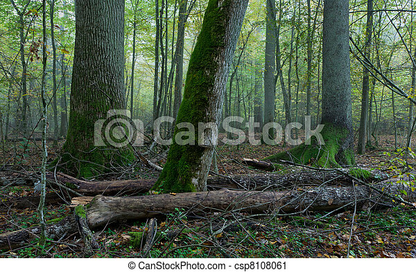 Old trees in natural stand of Bialowieza Forest - csp8108061