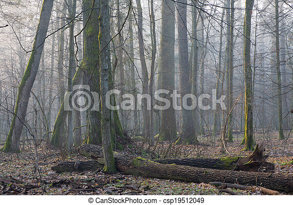 Old trees in natural stand of Bialowieza Forest - csp19512049