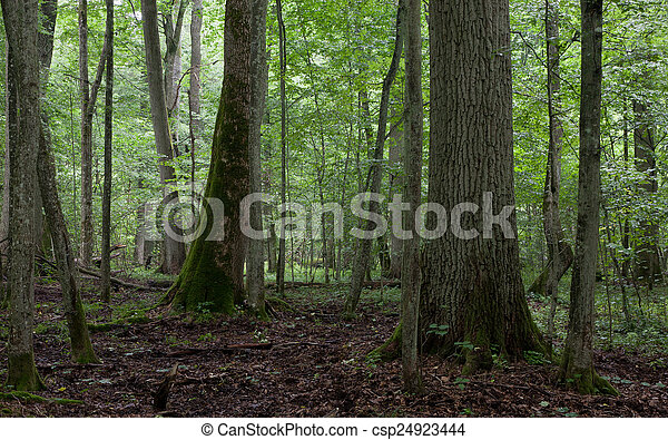 Old trees in natural stand of Bialowieza Forest - csp24923444