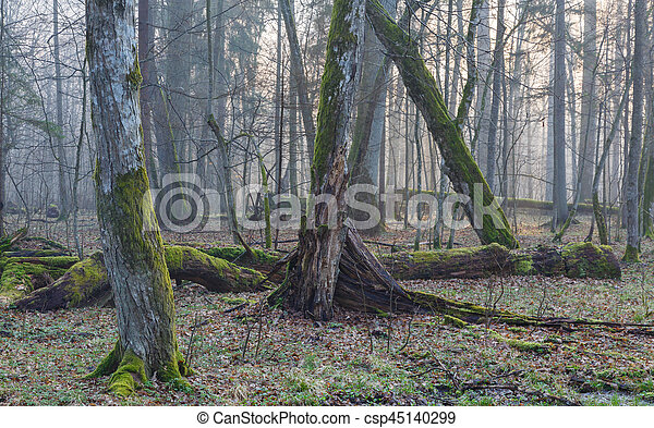 Old trees in natural stand of Bialowieza Forest - csp45140299