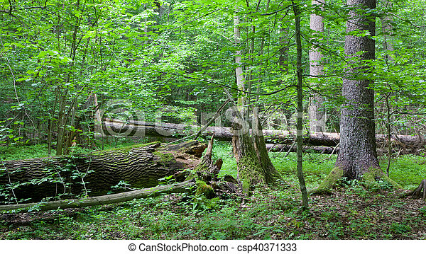 Old trees in natural stand of Bialowieza Forest - csp40371333