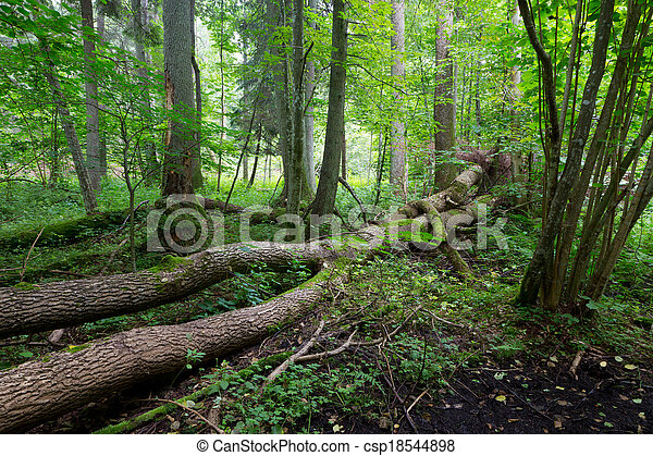 Old trees of Bialowieza Forest in summer - csp18544898