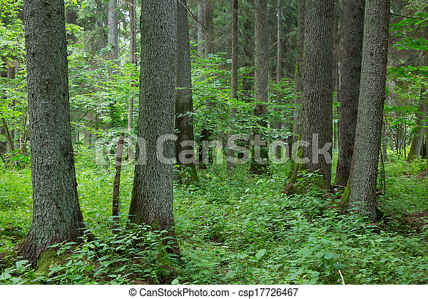 Old trees of Bialowieza Forest - csp17726467
