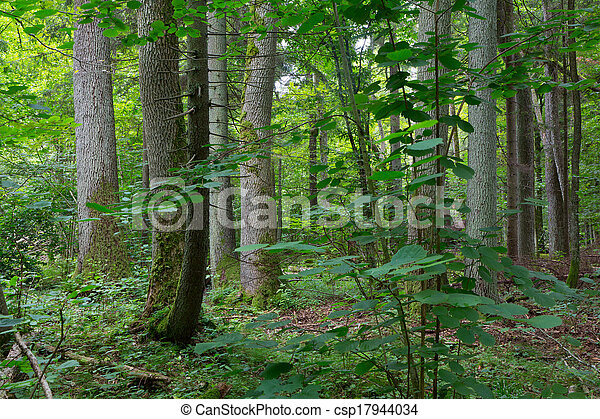 Old trees of Bialowieza Forest - csp17944034