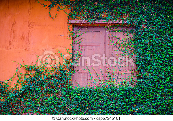 Old wooden window and orange wall overgrown with ivy. - csp57345101