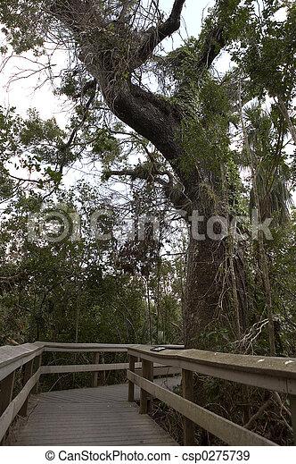 oldest mahogany tree - csp0275739