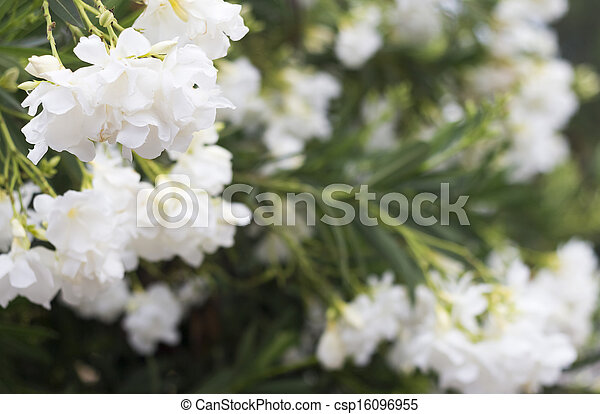 Background with white oleander flowers oleander flowers csp16096955 mightylinksfo
