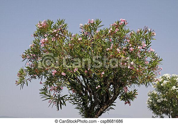oleander tree nerium oleander oleander tree with blossoms nerium