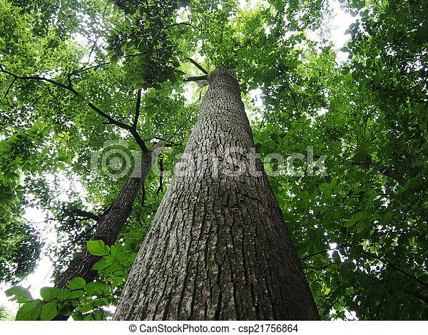 olhar, alto, cima, árvores, floresta - csp21756864
