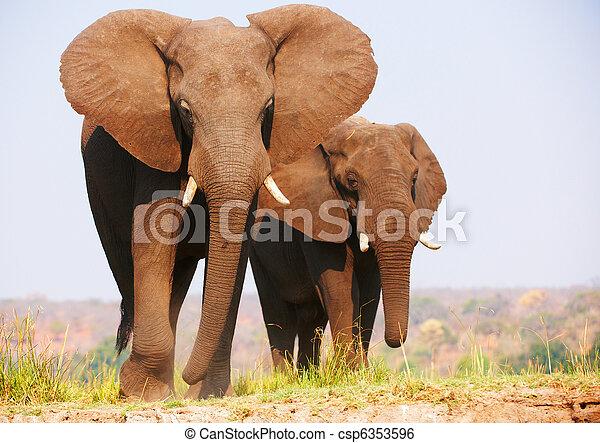 olifanten, kudde, afrikaan - csp6353596