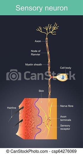 olik, environments., celler, neuron., sensorisk, yttre, akt, retningar - csp64276069