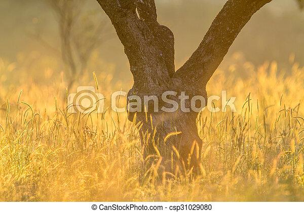 oliva, gambo, albero, splendore - csp31029080