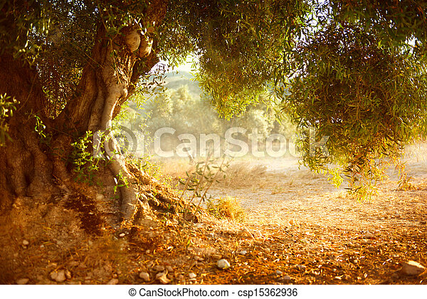 Der alte Olivenbaum - csp15362936