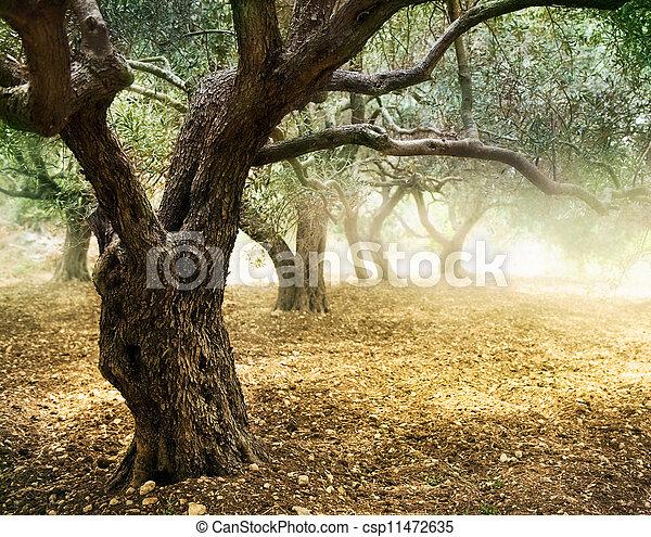 Alte Olivenbäume - csp11472635