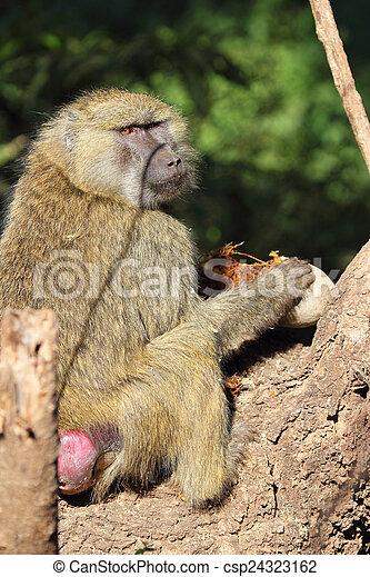 Olive baboon eating a sausage tree fruit Kigelia - csp24323162