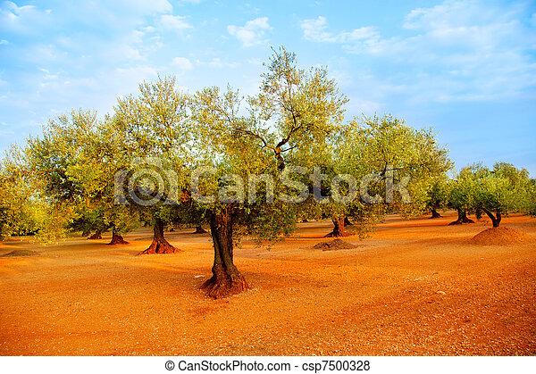 olive tree fields in red soil in Spain - csp7500328