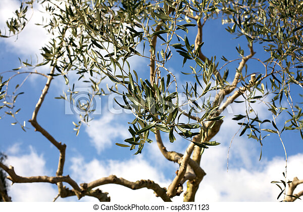 Olive tree leafs on a blue sky - csp8371123