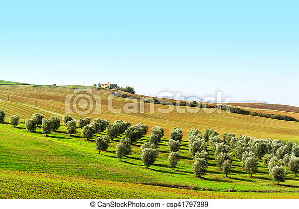 olive trees in a green hill in Tuscany - csp41797399