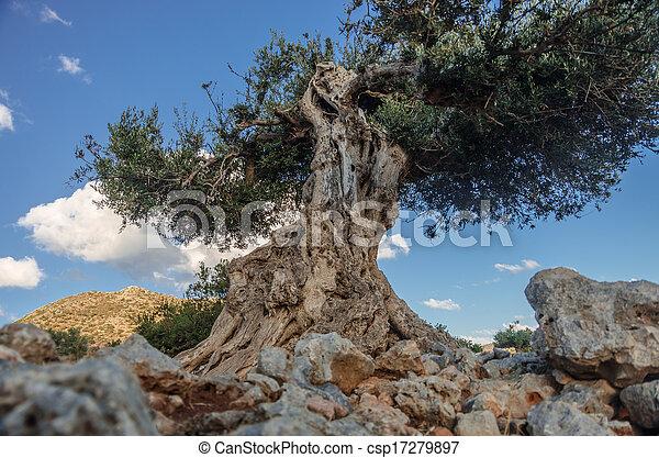 Alter Olivenbaum - csp17279897