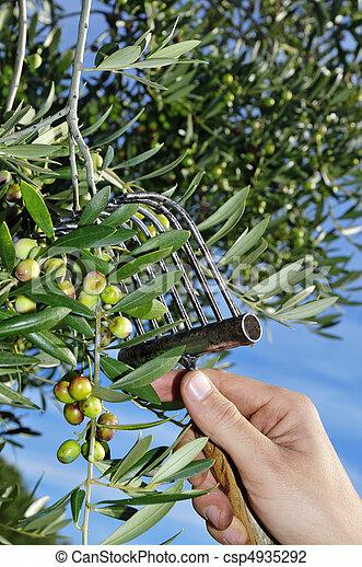 wann oliven ernten