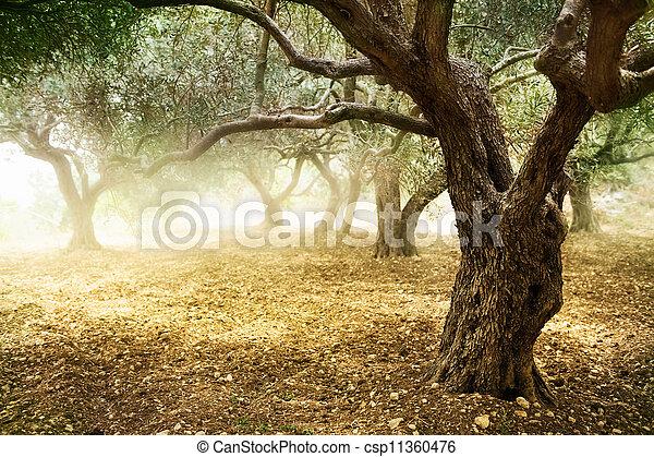 olivenbäume - csp11360476