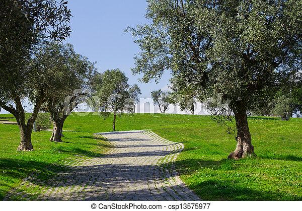 Olivenbäume - csp13575977