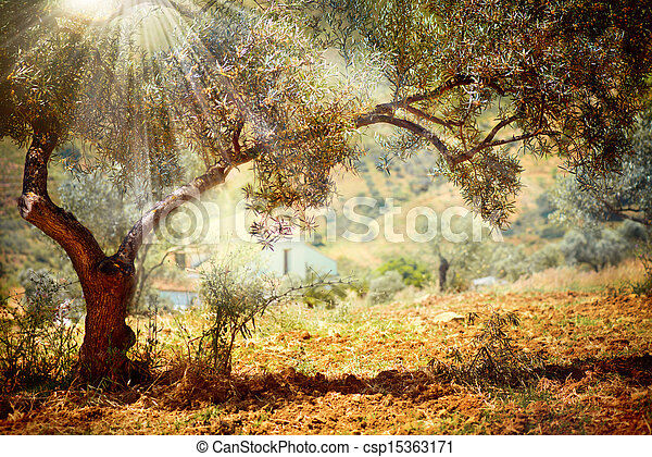 Olivenbäume - csp15363171