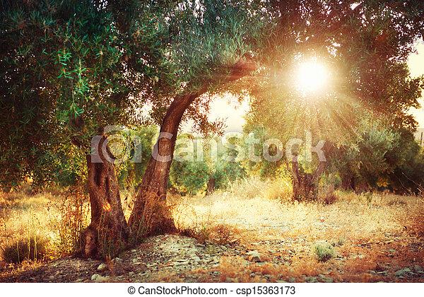 Olivenbäume - csp15363173