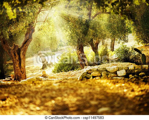 Olivenbäume - csp11497583