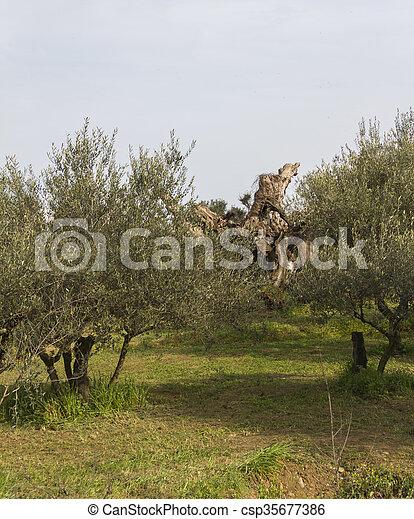 olivenbäume - csp35677386