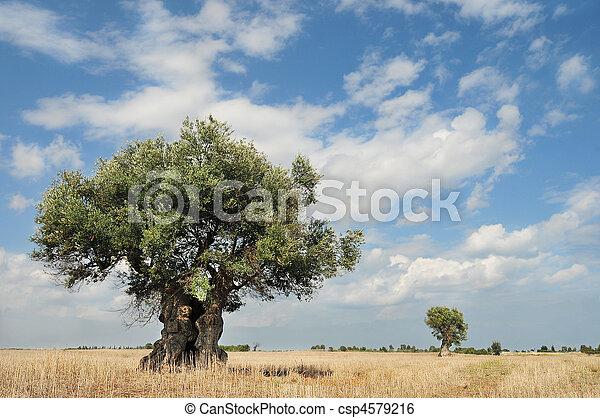 Olivenbäume - csp4579216