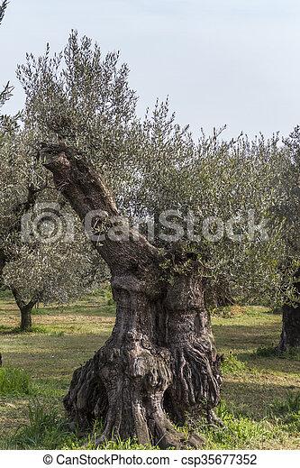 Olivenbäume - csp35677352