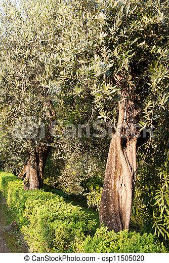 olivenbäume - csp11505020