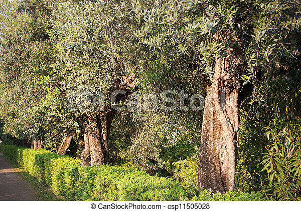 Olivenbäume - csp11505028