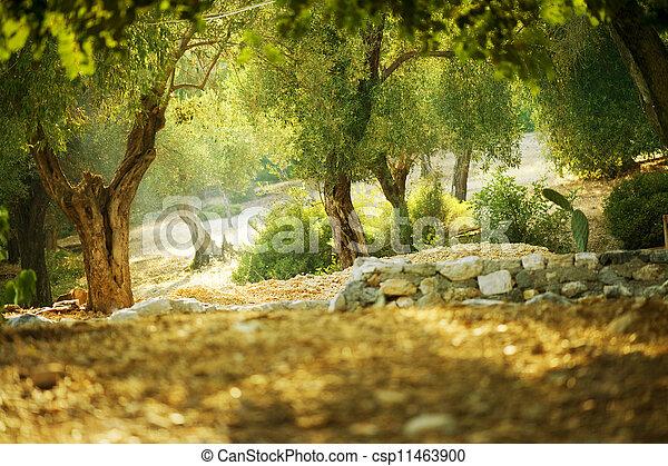 olivenbäume - csp11463900