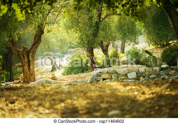 Olivenbäume - csp11464602