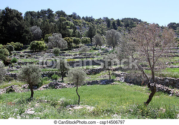 olivenbäume - csp14506797