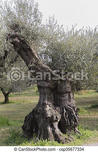 Olivenbäume - csp35677334